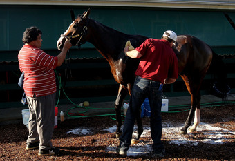 BALTIMORE, MD - MAY 18: Bodemeister, held by Raul Ronjel and groomed by Roberto Luna, is bathed after morning excercise session in preparation for the 137th Preakness Stakes at Pimlico Race Course on May 18, 2012 in Baltimore, Maryland. (Photo by Matthew