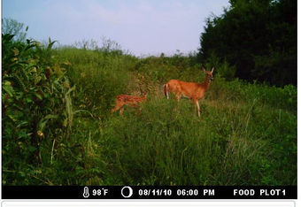 Nutritional food plots can increase the carrying capacity of your property