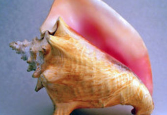 250pxconchshell2_crop_340x234