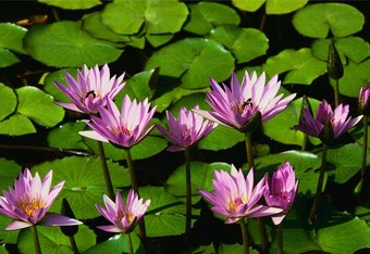 Waterlilies_crop_340x234