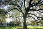 L_bigoaktree_crop_150x100