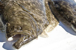 Flounder-500-kendal_larson_crop_150x100