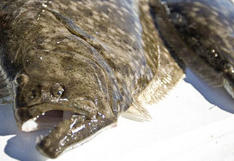The yearly galveston spring flounder run how to maximize for Flounder fishing galveston