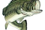 Largemouth600x530_crop_150x100