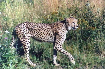 Cheetah4_display_image