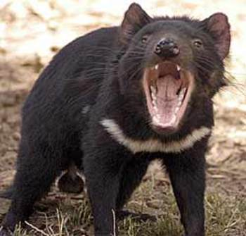 Tasmaniandevil250_display_image
