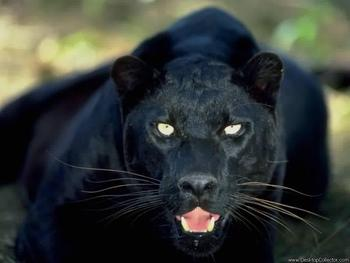 Black20panther_display_image