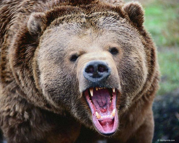 Scary20grizzly20bear_display_image