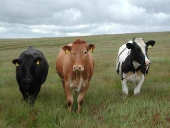 Cattle-5_display_image