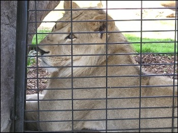 Leo_lion_display_image