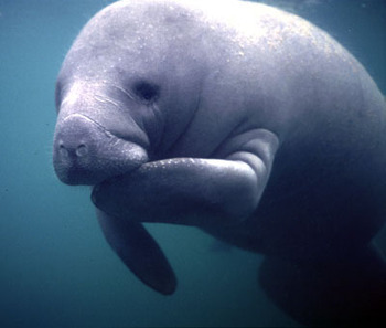 Manatee_display_image