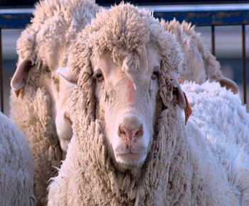 Sheep240307_486x386_display_image