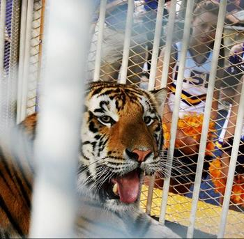 Lsusmikethetiger_display_image