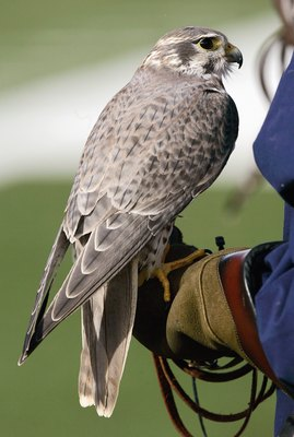 AIR FORCE ACADEMY, CO - NOVEMBER 11: A mascot Falcon  of the Air Force Falcons sits on the trainers arm during the game against of the Notre Dame Fighting Irish on November 11, 2006 at Falcon Stadium on the Air Force Academy near Colorado Springs, Colorad
