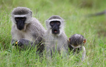 DURBAN, SOUTH AFRICA - DECEMBER 19:  Monkeys are seen on the course during round three of the South African Open Golf Championship at the Durban Country Club on December 19, 2010 in Durban, South Africa.  (Photo by Julian Finney/Getty Images)
