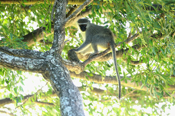 EAST LONDON, SOUTH AFRICA - JANUARY 07:  A monkey looks on from the trees on the 16th green during the second round of the Africa Open at East London GC on January 7, 2011 in East London, South Africa.  (Photo by Warren Little/Getty Images)