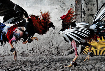 Cockfighting-warrior-colombia_crop_358x243_display_image