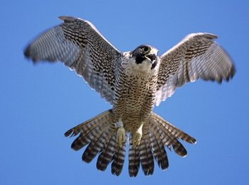 Falcon_display_image