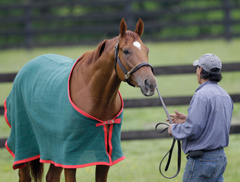 ELKTON, MD - MAY 17:  Hot walker Noe Lagunas holds Kentucky Derby winner and Preakness entrant Animal Kingdom at the Fair Hill Training Center on May 17, 2011 in Elkton, Maryland. Animal Kingdom is training for Saturday's 136th Preakness Stakes in Baltimo