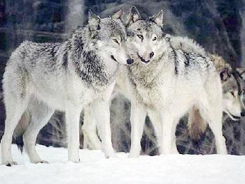 Wolves_display_image