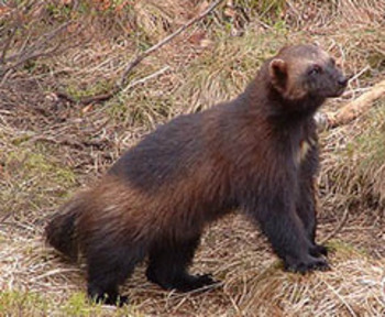 20100203-wolverine_display_image