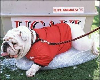 Ugabulldog_display_image