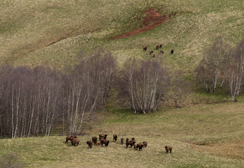 SOCHI, RUSSIA - MAY 19:  A view of rare Mountain Bison in the Krasnaya Polyana wildlife park, Krasnaya Polyana is home of the Mountain Cluster for the 2014 Winter Olympics on May 19, 2011 in Sochi, Russia. Sochi is preparing for the 2014 Winter Olympics w