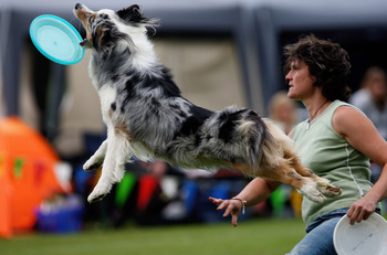 KARLSRUHE, GERMANY - AUGUST 29:  Australian shepherd Luna gets airborne during the Butch Cassidy Cup 2009, the German dog frisbee German championship, on August 29, 2009 in Karlsruhe, Germany. The judges grade the sportiness, security and acrobatics of th