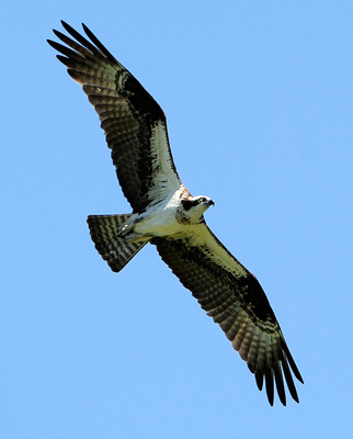 PONTE VEDRA BEACH, FL - MAY 09:  An osprey flies above the course during the final round of THE PLAYERS Championship held at THE PLAYERS Stadium course at TPC Sawgrass on May 9, 2010 in Ponte Vedra Beach, Florida.  (Photo by Sam Greenwood/Getty Images)