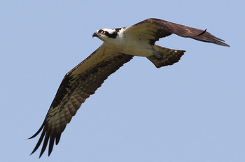 WINDERMERE, FL - MARCH 15:  An osprey hunts over the 4th hole during the second day of the Tavistock Cup at Isleworth Golf & Country Club on March 15, 2011 in Windermere, Florida.  (Photo by Sam Greenwood/Getty Images)