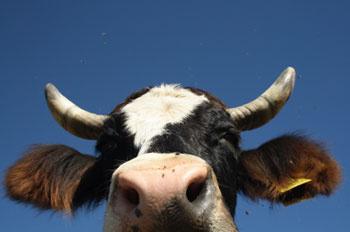 A0147-super-bowl-cow_leader_display_image