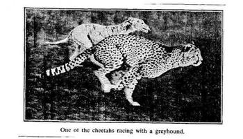 Cheetah_display_image