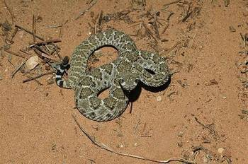 Rattlesnake01bittner_display_image