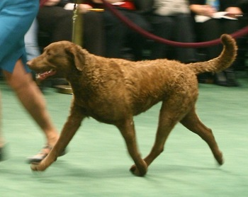 Chesapeakebayretriever_display_image