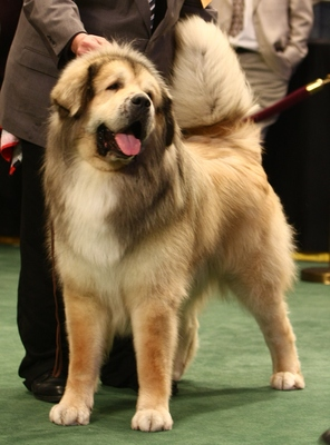 Tibetanmastiff_display_image