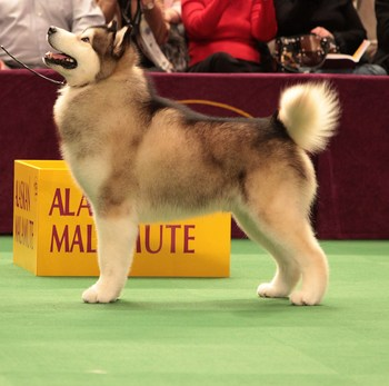 Alaskanmalamute2_display_image
