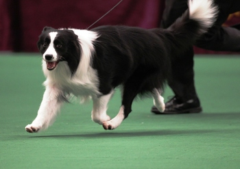 Bordercollie2_display_image