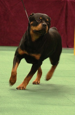 Rottweiler_display_image