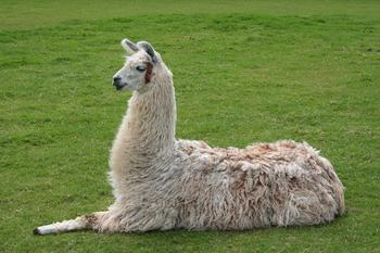 It's a llama. (Wikipedia Commons)