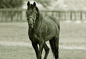 Mr. Prospector, photo courtesy of Summerhill Stud