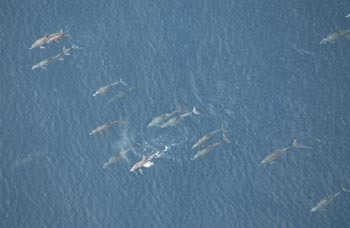 Dolphins  Courtesy NOAA