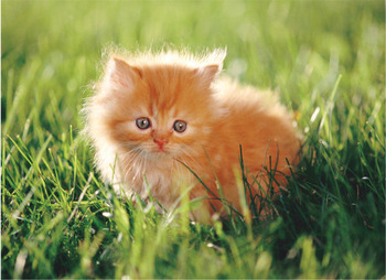 Kitten_display_image