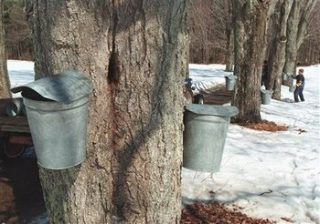 Football fans in Vermont looking for something to do could always go tap a maple tree for some syrup...