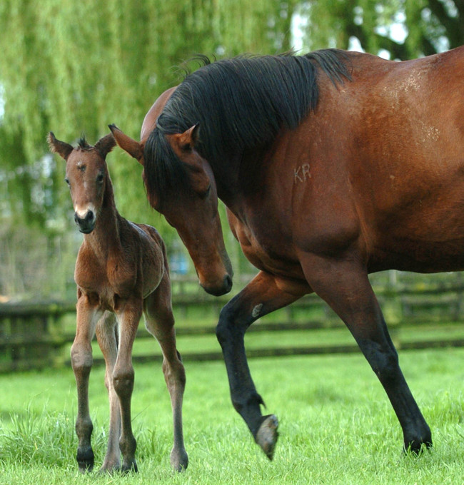 CAMBRIDGE, NEW ZEALAND - OCTOBER 18:  Champion mare Sunline keeps a watchful eye on her first foal, a filly by Rock of Gibraltar, at Cambridge Stud, Cambridge, New Zeland. Monday October 18th 2004.  (Photo by Ross Land/Getty Images)