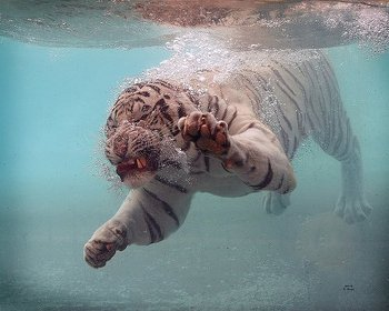 White Tiger. (Photo: Kristi Harper/Environmental Graffiti)