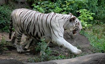 White Tiger. (Photo: Jim Larimore/Cincinnati Zoo)