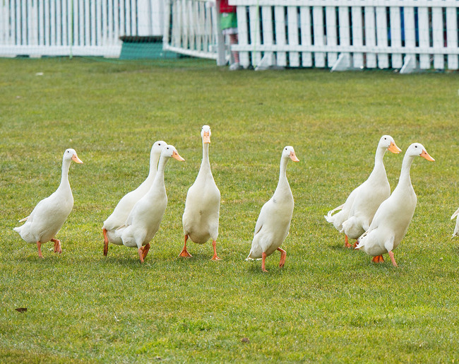 Hi-res-165963170-ducks-take-part-in-quack-pack-during-the-countryside_crop_650