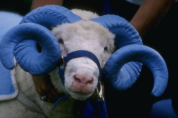 31 Aug 1996:  Rameses, the mascot of the North Carolina Tar Heels, stands on the sideline during the Tar Heels 45-0 victory over the Tigers at Chapel Hill in North Carolina.   Mandatory Credit: Al Bello/Allsport