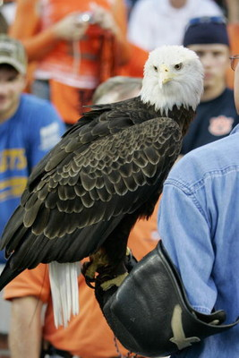 AUBURN, AL - SEPTEMBER 3:  A bald eagle is brought in for a ceremony for the hurricane Katrina victims prior to the game between the Auburn Tigers and the Georgia Tech Yellow Jackets on September 3, 2005 at Jordan-Hare Stadium in Auburn, Alabama.  (Photo