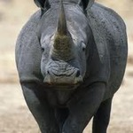 The Rhino King
